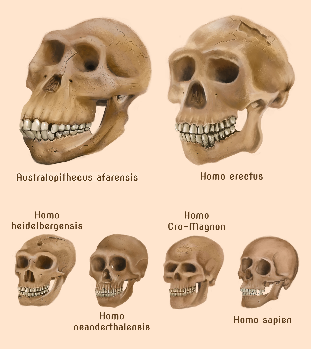 Homo Sapien Sapiens
